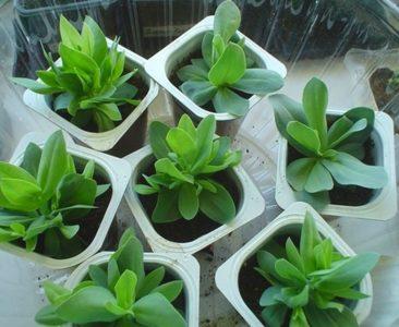 Выращивание рассады эустомы из семян без ошибок