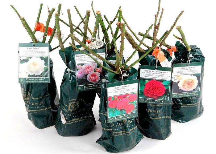 Посадка роз в апреле в открытый грунт