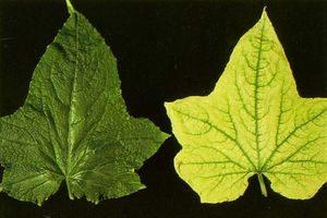 недостаток железа у растений