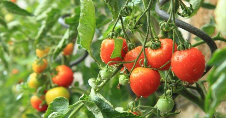 Как спасти томаты от фитофторы