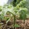 Сроки высадки рассады в грунт
