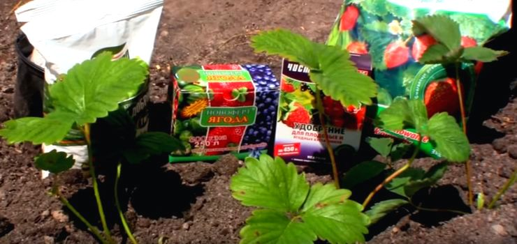 Как правильно обработать клубнику весной