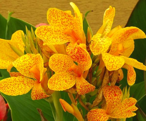 Canna indica Picasso