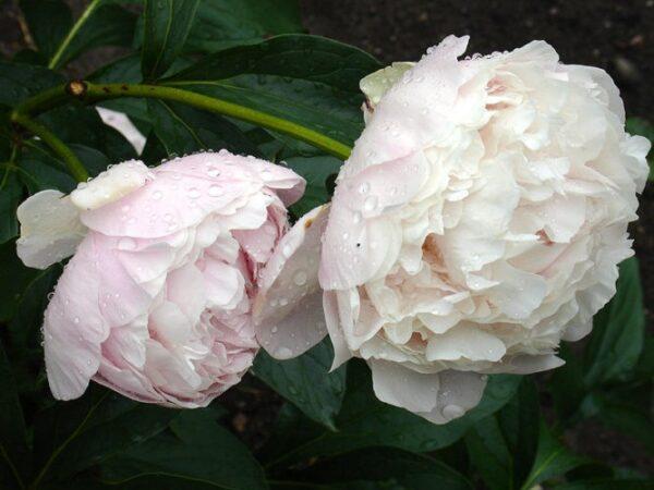 Paeonia lactiflora Madame Calot