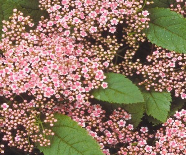 Spireya yaponskaya Pink Parasol