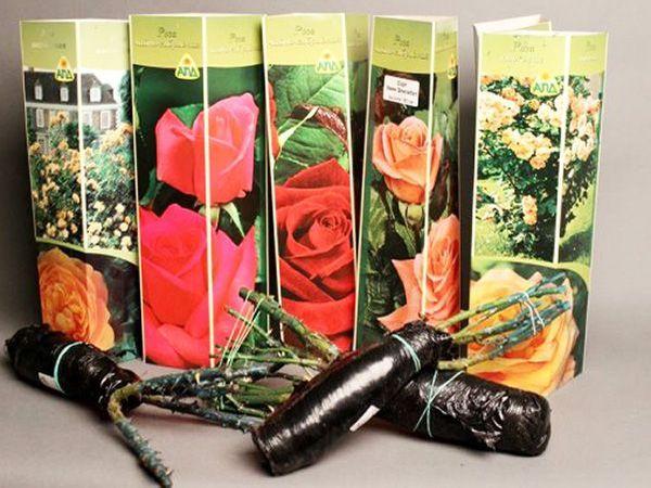 Хранение саженцев роз