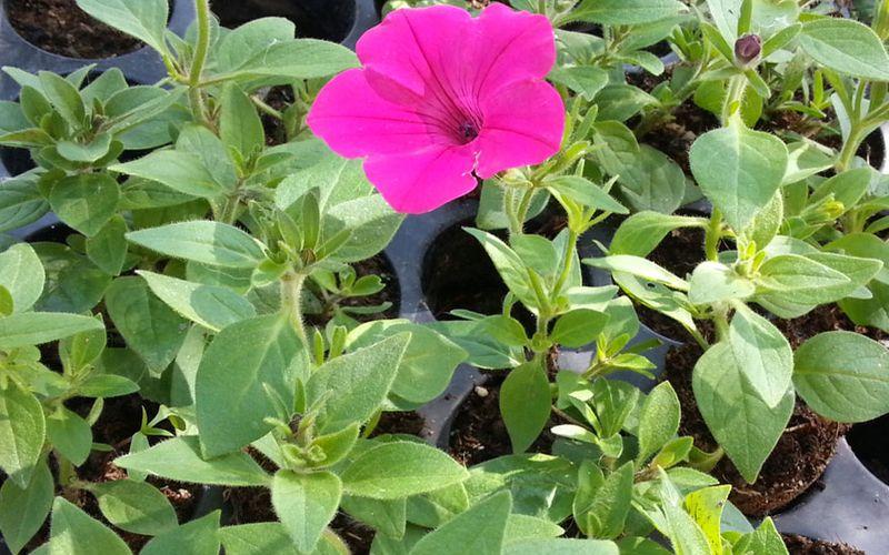 Ошибки при выращивании рассады петунии