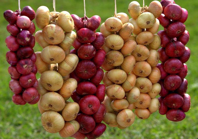 Лук из семян за один год лучшие сорта