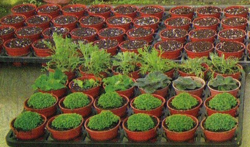 сроки посева семян на рассаду