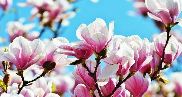 Лучшие рано цветущие кустарники и деревья