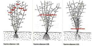 Выращивание клематисы весной