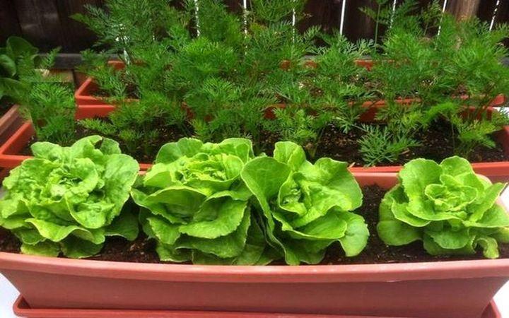 Выращивание зелени на окне