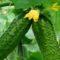 Как вырастить рассаду огурцов дома правильно