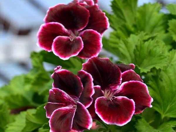 Пеларгония Aristo Black Beauty