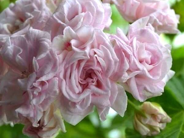 Пеларгония Rococo