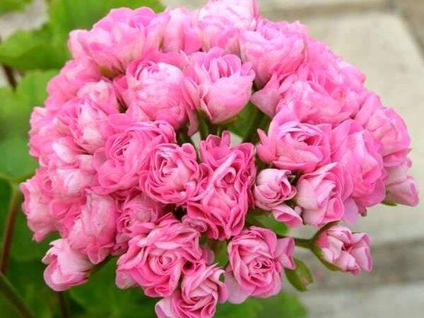 пеларгония swanland pink rosebud-1