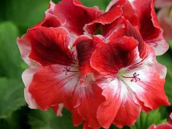Пеларгония королевская Mandarin-1