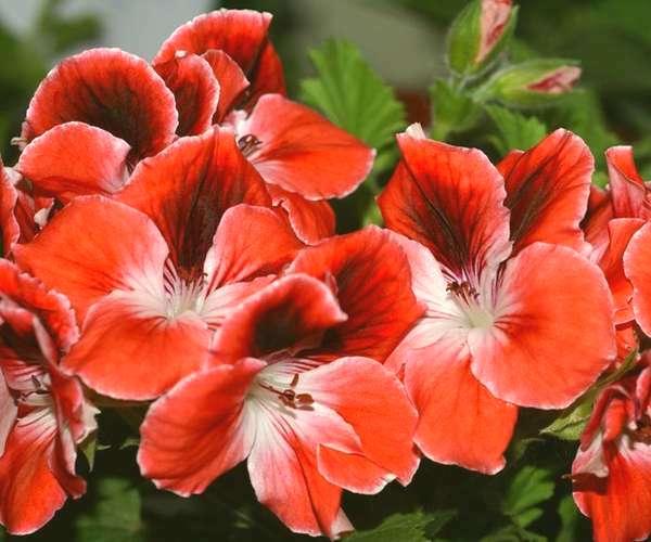 Пеларгония королевская Mandarin-3