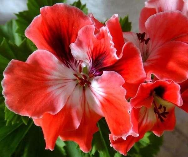 Пеларгония королевская Mandarin-4
