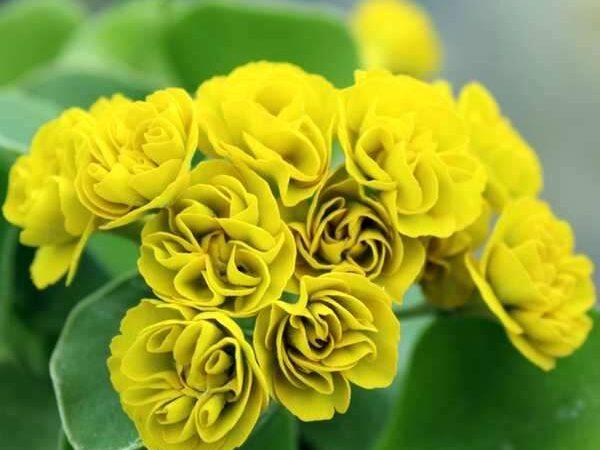 Примула auricula-Golden-Hind-2